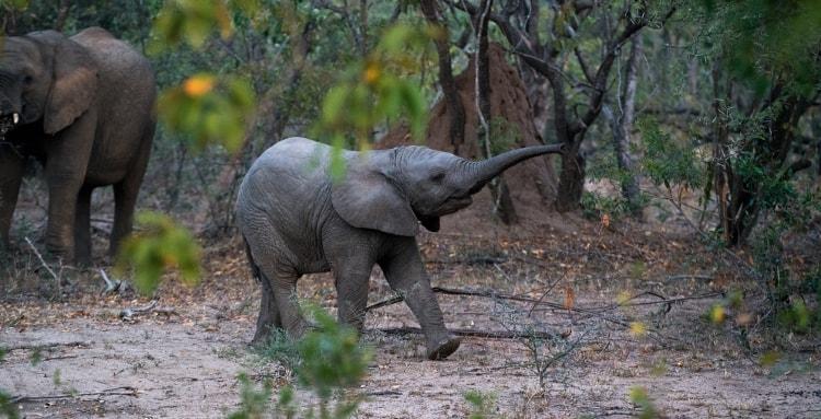 Ciekawostki o słoniach, o których nie mieliście pojęcia.